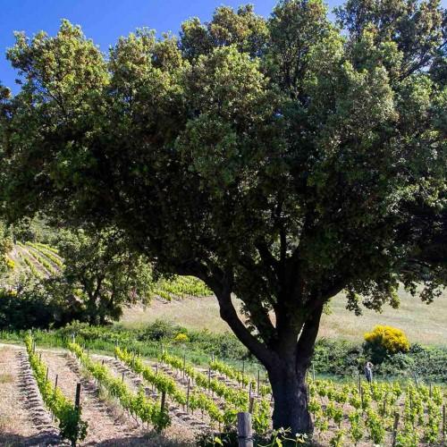 Мы обнаружили приятное совпадение: ШАТО ТРИОЛЬ(CHÂTEAU TRILLOL), расположенный в Пиренеях принадлежит семье Сишель с 1990 года.